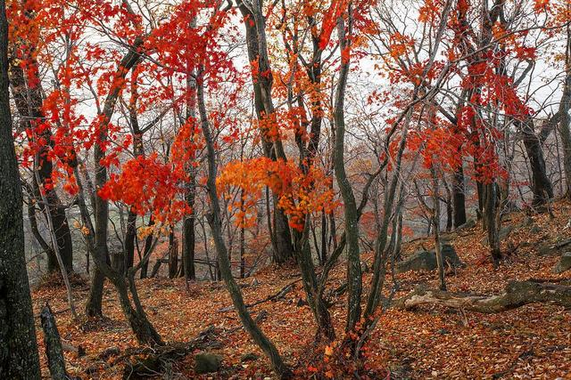 关于枫叶的短句,枫叶飞来,飘过一片思念,相思若红叶