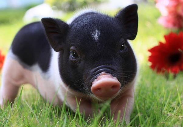 2017属猪的运气,2017年生肖运程解说——生肖猪运势详情