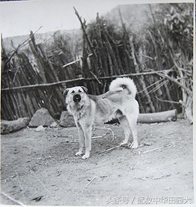 中华田园犬图片,珍贵的北方中华田园犬老照片,永远的大笨狗