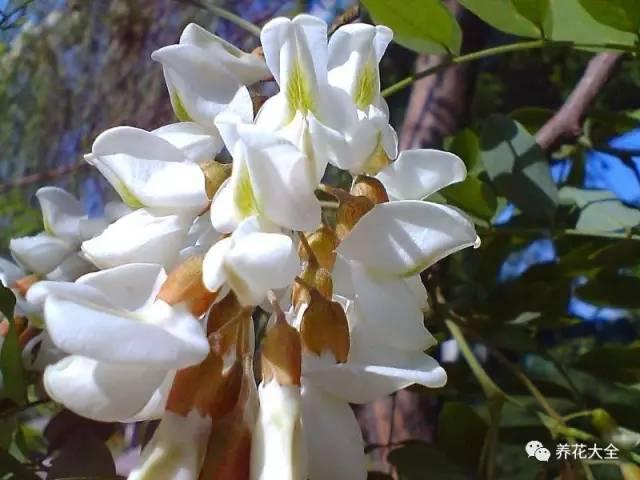洋槐花的吃法,又到了吃槐花的季节,槐花的花样吃法,止不住流口水