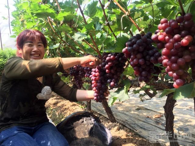 """早熟葡萄品种,大荔早熟葡萄新品种""""早黑宝""""上市"""