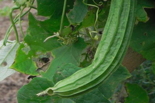 老品种,吃货们也没见过的老品种蔬菜,现在农村也不好找!