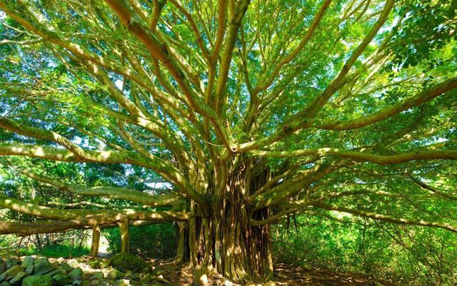 菩提树图片,常说菩提树,究竟是何物?