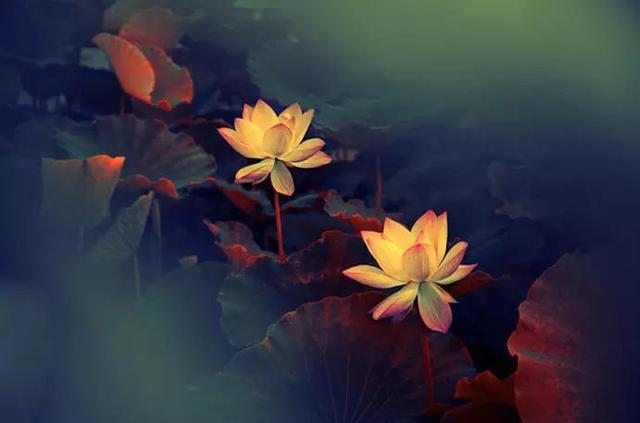 情感图片,情感美文美图欣赏:莲香散尽,情归何处