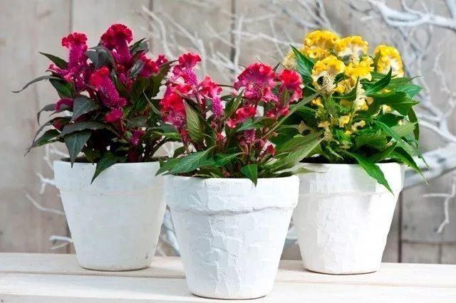 鸡冠花图片,盆栽七彩的鸡冠花,全年都是灿烂迷人的花朵