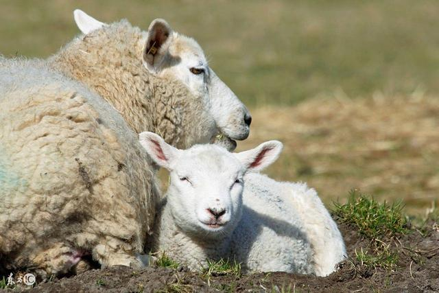 羊胎的吃法,羊胎盘的功效与作用,大家知道多少?
