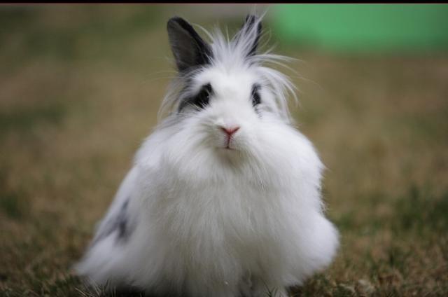 肉兔品种,常见兔子的种类