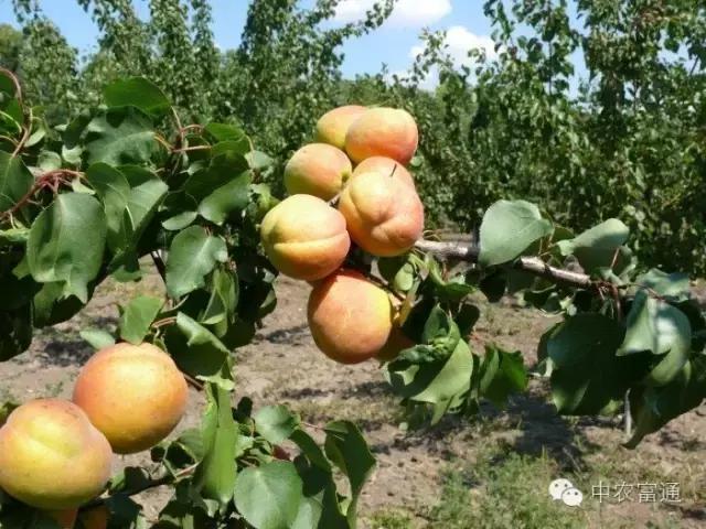 水果新品种,新品种推荐:6个杏的新品种,农人必看!