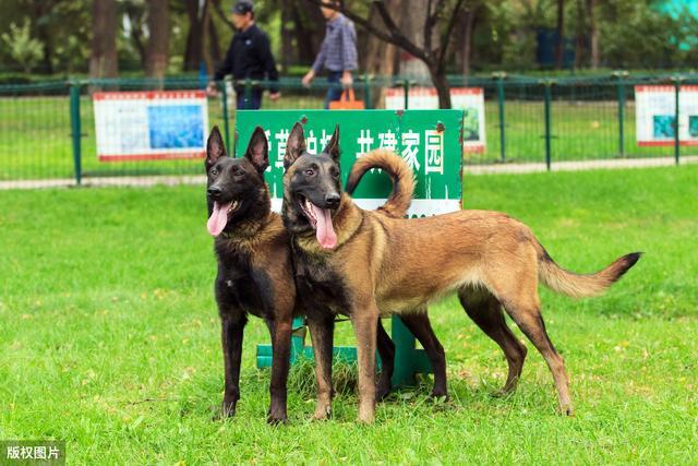 """马犬图片,家养马犬的6大""""好处"""",不养不知道"""