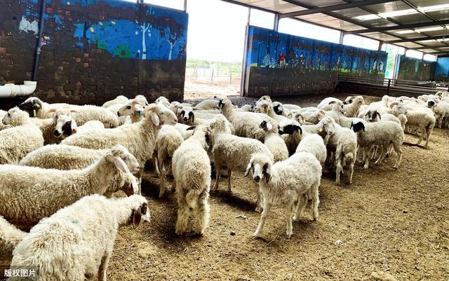 绵羊品种,几种非常适合舍饲圈养的羊品种