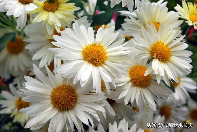 菊花寓意,(原创系列)花语花事与花情之九——菊花