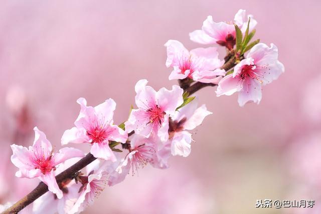 桃花的唯美句子,散文:桃花