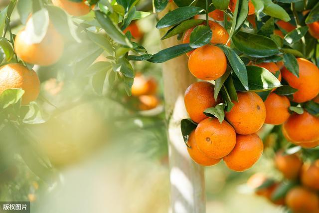 家里有院子,不要错过4种果树,吉祥又好看,还有免费水果吃