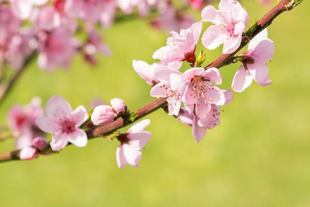 桃花的唯美句子,看桃花映衬下的似水流年,十首绝句送你一世情缘