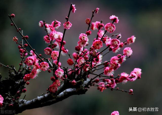 关于梅花的诗,陆游慷慨爱国梅花诗三首,向来冰雪凝严地,直与天地争春回