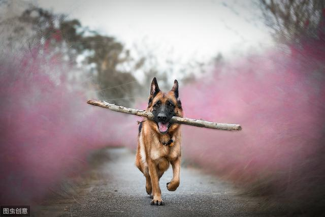 牧羊犬图片,为德牧正名:外表凶悍,实则内心温柔,看完后你会爱上它的