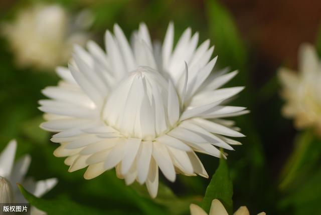 菊花 寓意,雏菊的花语你知道几个?