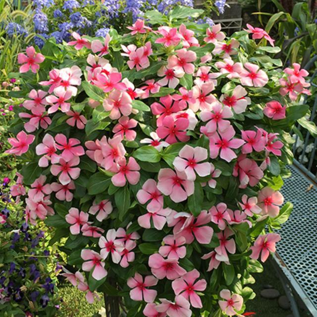 """种""""漂亮花"""",从来不生虫,家里干净卫生,花开不断,真省心"""""""