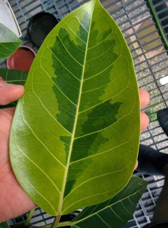 美如画的10个榕属植物,都适合种在花盆里,养成室内观叶植物