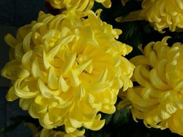 关于菊花的诗,秋天赏菊正当时,这些描写菊花的诗词名篇,淋漓尽致展现菊花之美