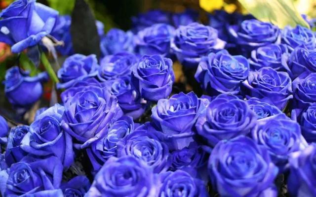 蓝色寓意,蓝色妖姬的花语和寓意
