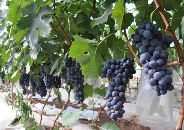 葡萄的吃法,葡萄不用出去买,在家也能种,年年吃上新鲜果子