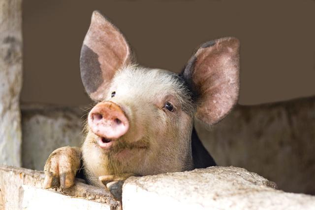 生猪存栏没修复100%,市场需求也不会趋紧