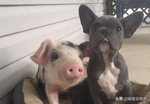 属狗的和属猪的,猪和狗谁的智商高