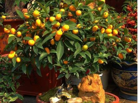 """有阳台、露台,就种6盆""""果树"""",好养好吃,一盆就能挂满果"""