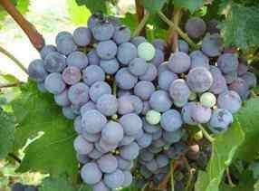 葡萄 品种,葡萄品种及特点,有没有你所熟知的呢?