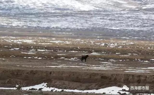 狼的图片,罕见!青海有黑狼出没……
