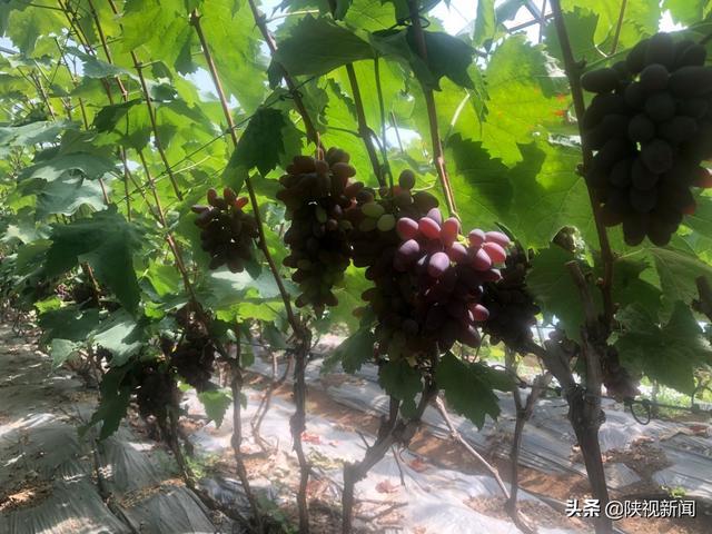 """早熟葡萄品种,早熟葡萄""""首阳香""""上市啦"""