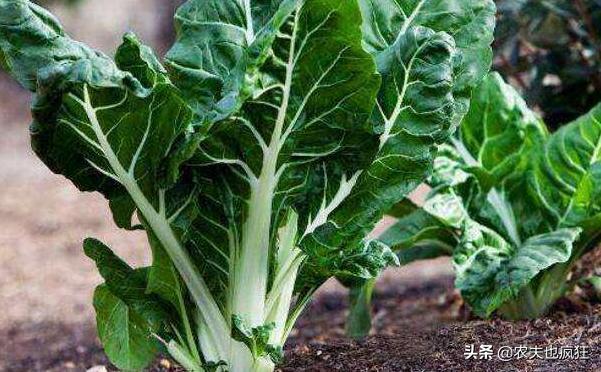 甜菜图片,亩产6000斤,割了会再长,曾被农民用来喂猪,如今价格是白菜5倍