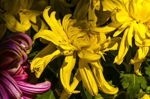 菊花 寓意,菊花-国人喜爱的花之一