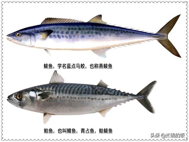 红烧鲅鱼怎么做,胶东人的家常菜之红烧鲅鱼,做法简单,肉多刺少,老婆孩子都喜欢