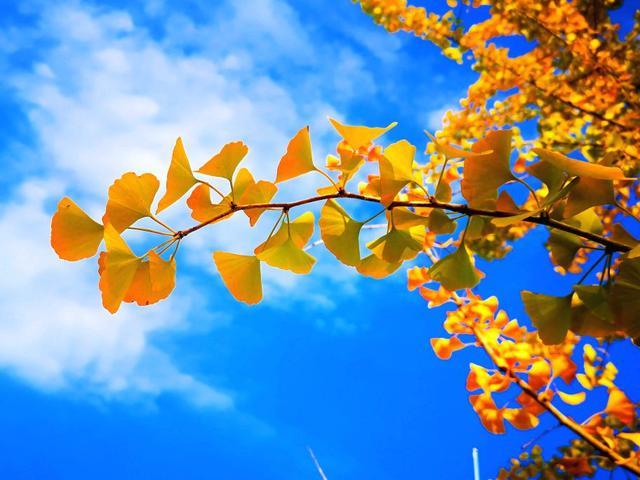 银杏叶寓意,蓝天白云见证最美的银杏叶,阴阳合生、爱情永恒!