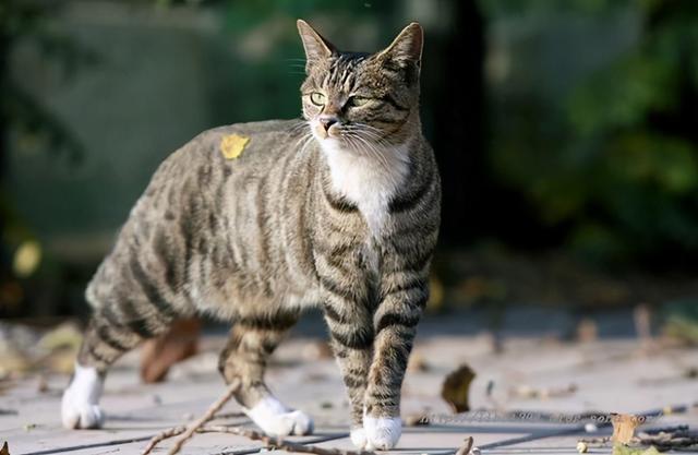 """家猫品种,这几种猫咪,堪称""""猫中贵族"""",养得起的都是土豪"""