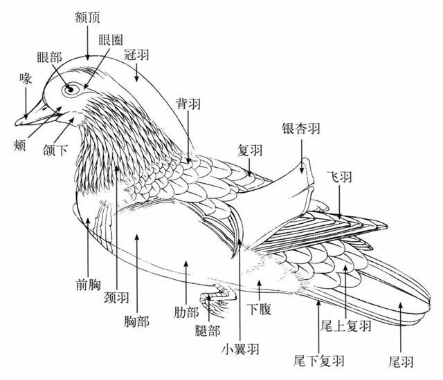 禽鸟的生长结构,用线方式以及它的动态表现