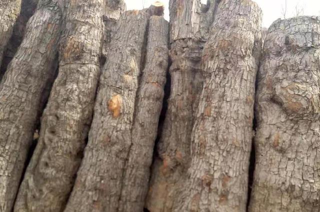 木品种,北方虽然不长红木,却生长了几种木中怪才:盘点北方优质木料