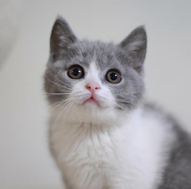 宠物猫的品种及价格,英短猫到底有什么魅力,凭什么让那么多人喜欢它?