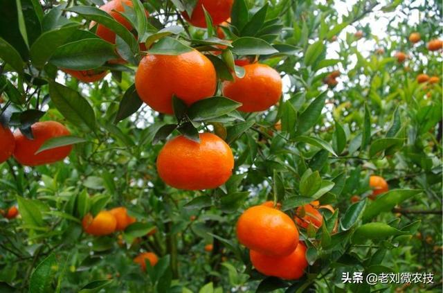 橘子品种,柑橘品种繁多,这些柑橘千万不要错过,鲜嫩多汁