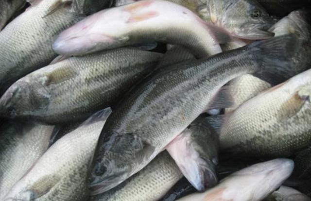 鲈鱼图片,鲈鱼不买这3种,聪明人看3点挑选,不仅条条新鲜,肉鲜嫩又鲜美