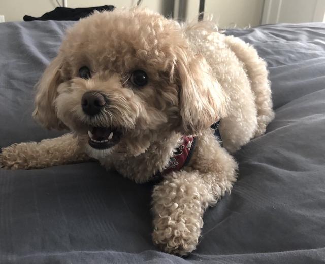 泰迪狗图片,超多人养的泰迪,其实有这5个缺点,不是每个主人都受得了