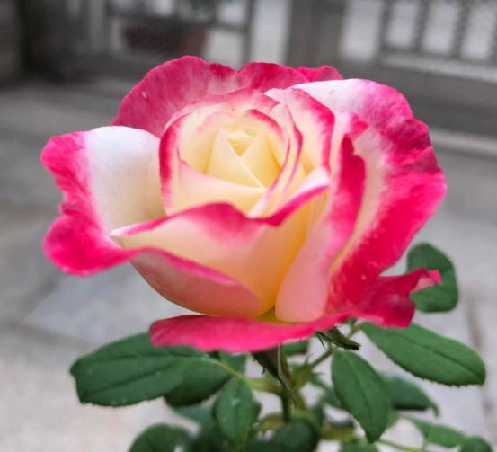 大花月季品种,10款浓香月季,开花比香水还好闻,从春一直开到秋!