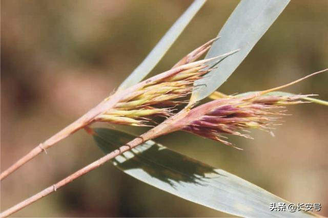 龙头图片,「秦岭百科 · 植物」龙头箭竹