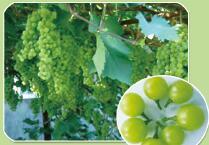 """早熟葡萄品种,品种推荐丨早熟无核葡萄新品种""""绿玫瑰"""""""