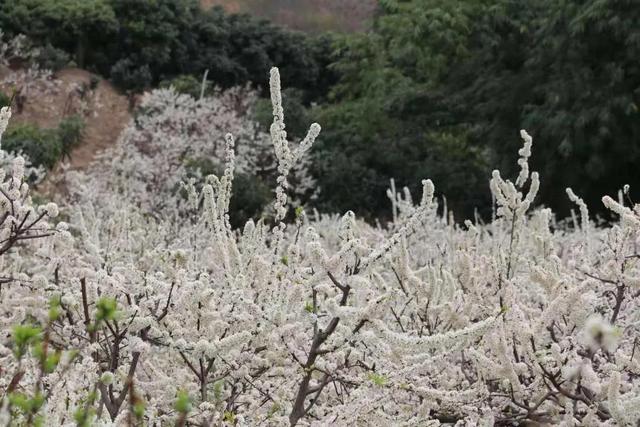 """小白花的做法,在云南,做一个""""花吃"""",挺好"""