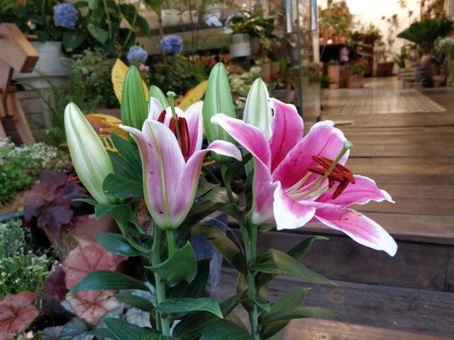 百合花的象征意义,百合花被公认为吉祥之花,它是一种什么植物?有哪些主要品种?