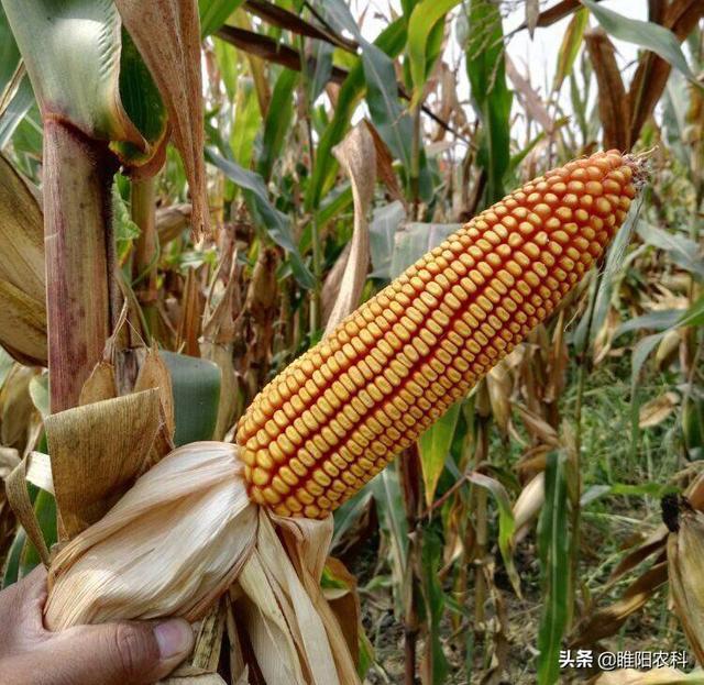 玉米品种介绍,十大国审超高产多抗玉米新品种之一乐农79。最高亩产2400斤