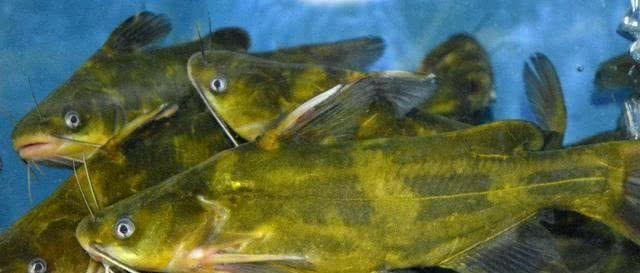 黄骨鱼的做法,推荐5种黄颡鱼的做法,简单美味又下饭,看看你喜欢吃哪种?